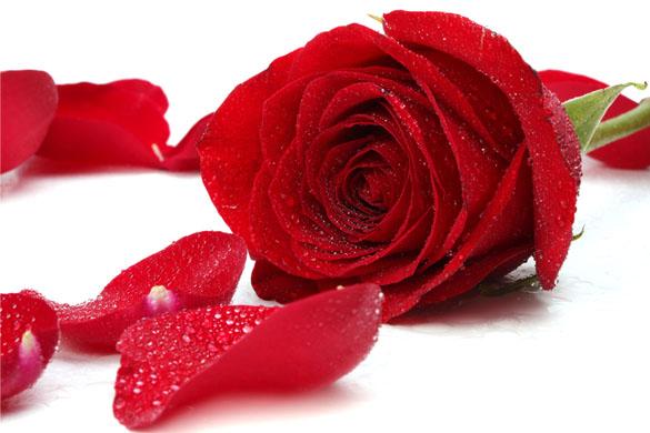 a-rose-flower